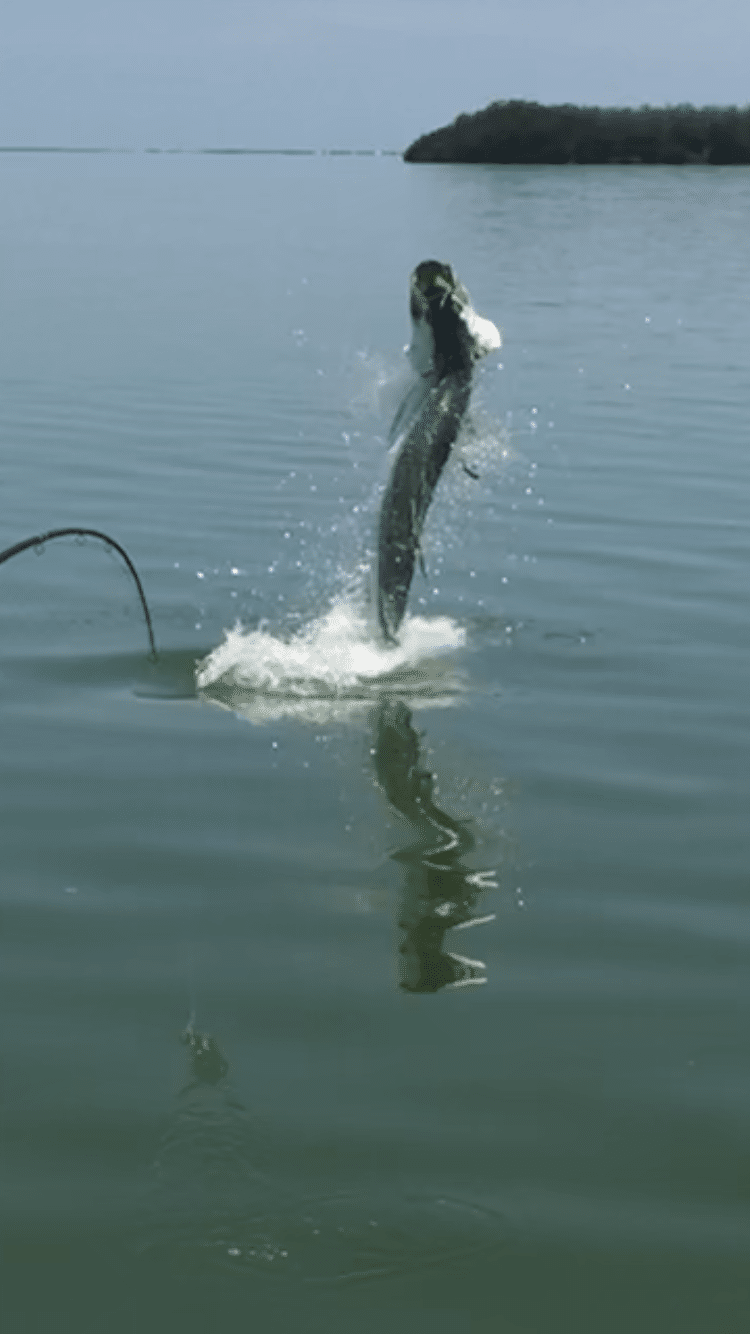 Tarpon fishing report summer 2018