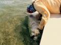 145 pound tarpon release